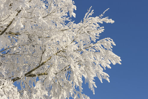 Europe, Switzerland, Canton of Zug, Hoar-frost on branches of tree - RUEF000625