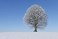 Europe, Switzerland, Canton of Bern, View of lime tree on snowy landscape - RUEF000636