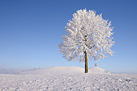 Europe, Switzerland, Canton of Zug, View of lime tree on snowy landscape - RUEF000639
