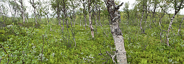 Sweden, Lapland, View of forest with birch trees at Favnoajvve in Sarek national park - SH000488