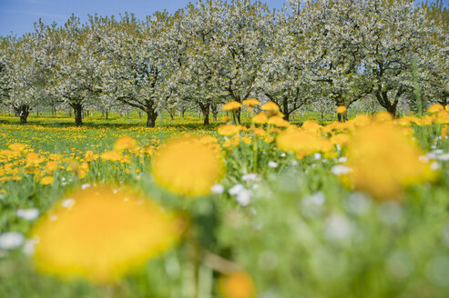Germany, View of dandelion with apple tree in background - SMF000628