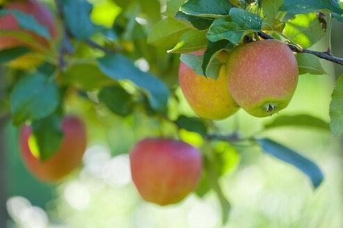 Germany, Deggenhausertal, Branch of apple tree, close up - SMF000632