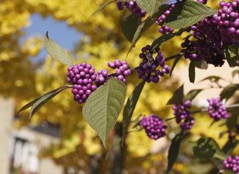 Close up of Bodinier's beautyberry (lat. Callicarpa bodinieri) - SIEF000114