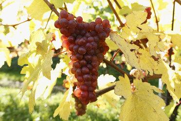 Austria, Lower Austria, Muskateller vinegrapes, close-up - SIEF000117