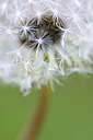 Germany, Baden-Württemberg, Markdorf, Common dandelion, close up - SMF000635