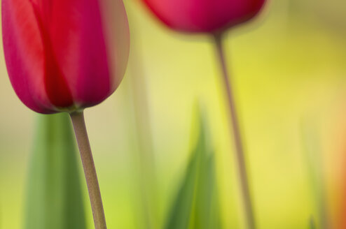 Germany, Baden-Württemberg, Markdorf, Red tulips, close up - SMF000651