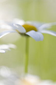 Germany, Baden-Württemberg, Markdorf, Marguerite(Oxeye Daisies), close up - SMF000655
