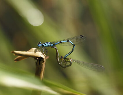 Germany, Bavaria, Common blue damselfly on twig, close up - SIEF000281