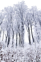 Austria, Vienna, Wienerwald, View of snow covered trees in forest - MBE000063