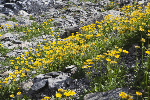 Switzerland, Valais, Leukerbad, View of flowers - GWF001402