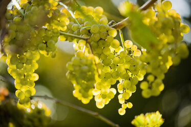 Germany, Bavaria, Close up of grape bunch hanging on vine - RNF000580