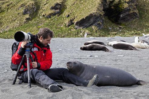 South Atlantic Ocean, United Kingdom, British Overseas Territories, South Georgia, St. Andrews Bay, Mature man with seal - FOF003108