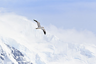 South Atlantic Ocean, Antarctica, Antarctic Peninsula, Gerlache Strait, Kelp gull flying in the sky - FOF003013