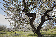 Spain, Balearic Islands, Majorca, Sheep grazing at blooming almond trees - SIEF000624