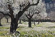 Spain, Balearic Islands, Majorca, Montuiri, View of blooming almond trees - SIEF000627