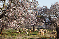 Spain, Balearic Islands, Majorca, Santanyi, Blossoming Almond trees (Prunus dulcis) with sheep - SIEF000720