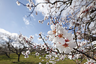 Spain, Balearic Islands, Majorca, Blossoms of almond tree - SIEF000730