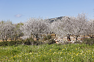 Spain, Balearic Islands, Majorca, Santanyi, Blossoming almond trees - SIEF000732