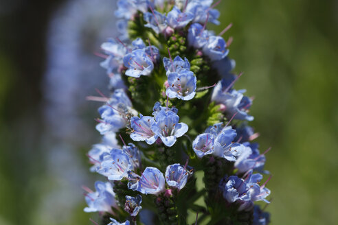 Spain, Canary Islands, La Palma, Giant Bugloss, close up - SIEF000762