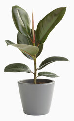 Rubber tree in pot against white background, close up - WBF001193