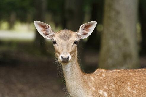 Germany, Bavaria, Fallow deer in wildpark - SIEF000954