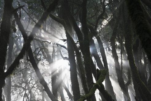 Spain, Canary Islands, La Gomera, View of laurel forest in garajonay national park - SIEF001041
