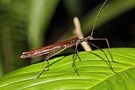 Costa Rica, Phasmatodea on leaf - SIEF001130