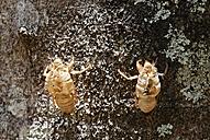 Costa Rica, View of cicada exuviae - SIEF001142