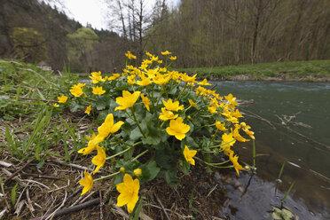 Germany, Franconia, Franconian Switzerland, Close up of marsh marigold near Wiesent river - SIEF001434