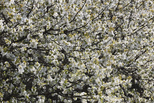 Germany, Bavaria, Franconia, Upper Franconia, View of blossoms of sweet cherry tree - SIEF001450