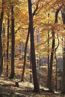 Germany, Rhineland-Palatinate, North Vosges, View of european beech trees in palatinate forest - GWF001473
