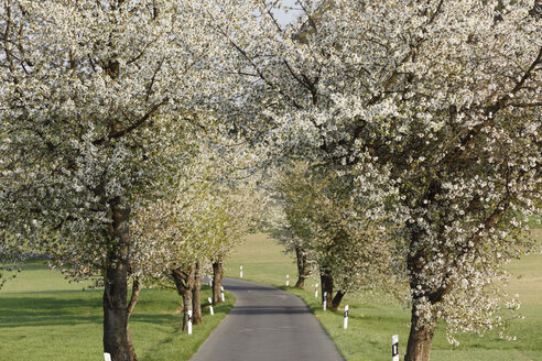 Germany, Bavaria, Franconia, Upper Franconia, Franconian Switzerland, View of empty country road with sweet cherry tree blossoms - SIEF001498