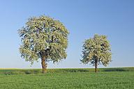 Germany, Saarland, Mettlach, Merzig-Wadern, View of blossoming pear tree in meadow - RUEF000712
