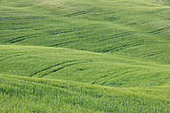 Italy, Tuscany, Province of Siena, Val d'Orcia, Pienza, View of green wheat field with tyre tracks - RUEF000683