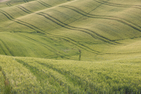 Italy, Tuscany, Province of Siena, Val d'Orcia, Pienza, View of green wheat field with tyre tracks - RUEF000676