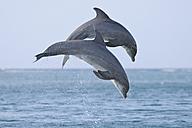 Latin America, Honduras, Bay Islands Department, Roatan, Caribbean Sea, View of bottlenose dolphins jumping in seawater - RUEF000667