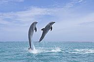 Latin America, Honduras, Bay Islands Department, Roatan, Caribbean Sea, View of bottlenose dolphins jumping in seawater - RUEF000651
