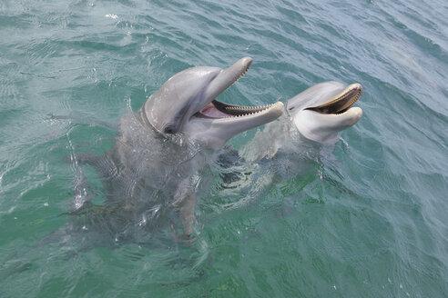 Latin America, Honduras, Bay Islands Department, Roatan, Caribbean Sea, View of two bottlenose dolphins swimming in seawater surface - RUEF000648