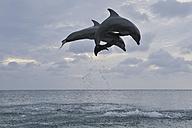 Latin America, Honduras, Bay Islands Department, Roatan, Caribbean Sea, View of bottlenose dolphins jumping in seawater at dusk - RUEF000642
