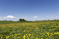 Germany, Bavaria, Upper Bavaria, Muensing, Holzhausen, View of church at distant with meadows of dandelions - SIEF001567