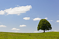 Germany, Bavaria, View of single Tilia tree in meadows - FOF003428