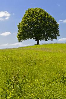 Germany, Bavaria, View of single Tilia tree in meadows - FOF003430