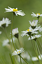 Germany, Bavaria, Close up of daisy flowers in garden - CRF002064