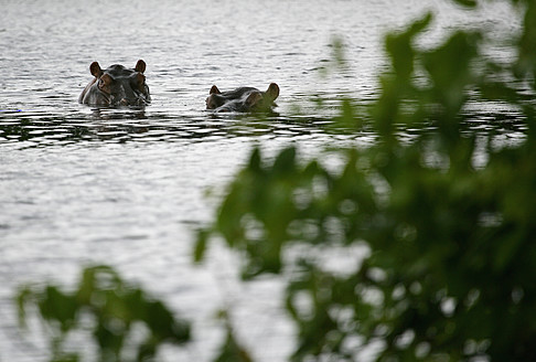 Africa, Guinea-Bissau, Two hippos in lake - DSGF000111
