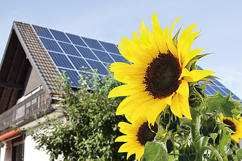 Germany, Cologne,  Sunflowers in front of house with solar panels - TSF000309
