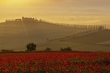 Italy, Tuscany, Crete, View of poppy field in front of farm with cypress trees at sunrise - FOF003524