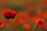 Italy, Tuscany, Crete, View of red poppy field with two flowers in foreground - FOF003526