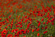 Italy, Tuscany, Crete, View of red poppy field - FOF003531