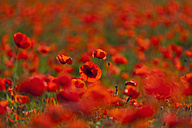 Italy, Tuscany, Crete, View of red poppy field - FOF003532