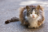 Italy, Tuscany, Crete, Long hair cat sitting and staring - FOF003547